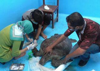 Petugas Amankan Penyu Sisik Dari Seorang Warga di Kawasan Tanjung 23 IMG 20210501 WA0037 1