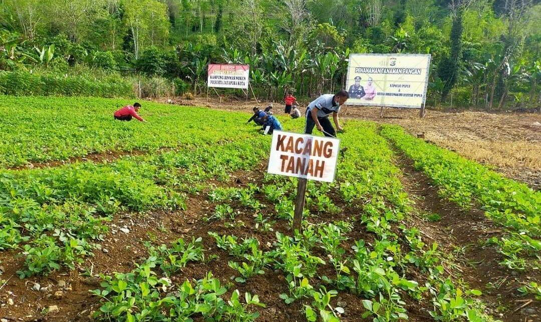 Jaga Ketahanan Pangan Dimasa Pandemi, Polsek Muara Tami Rutin Rawat Spot Pertanian 1 FB IMG 1629380171109