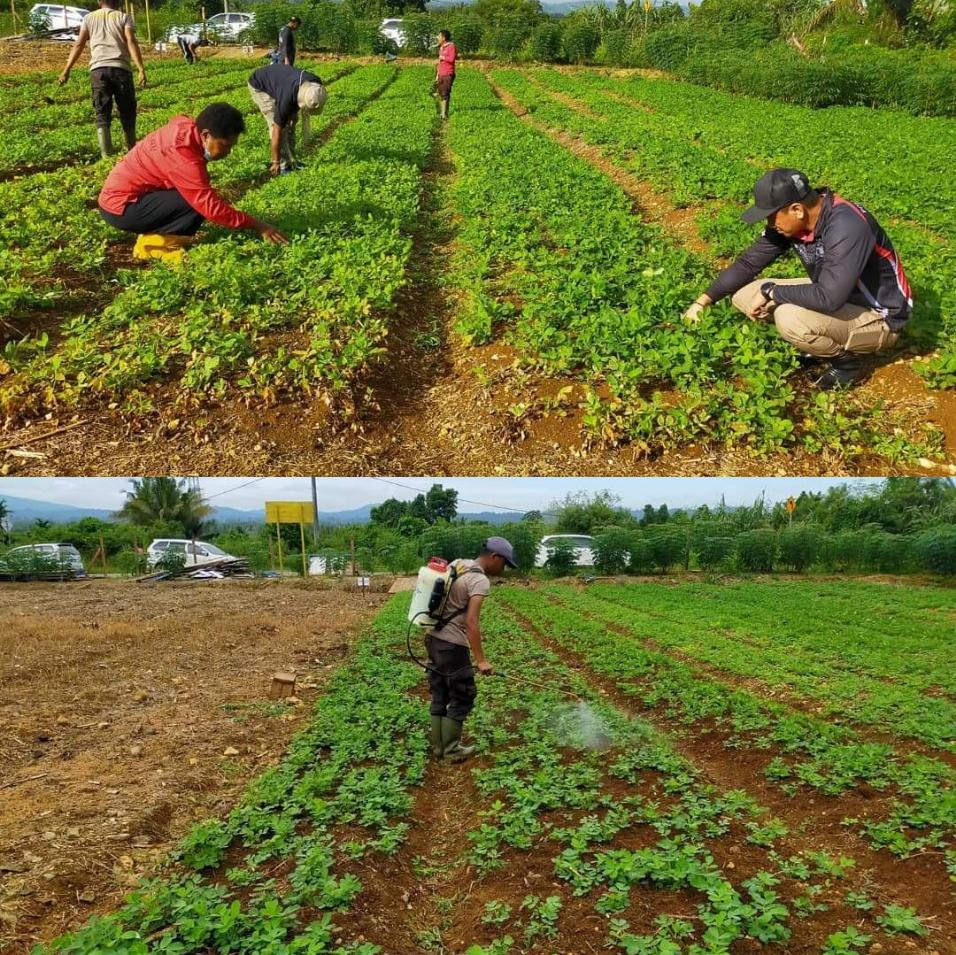 Jaga Ketahanan Pangan Dimasa Pandemi, Polsek Muara Tami Rutin Rawat Spot Pertanian 4 IMG 20210819 5